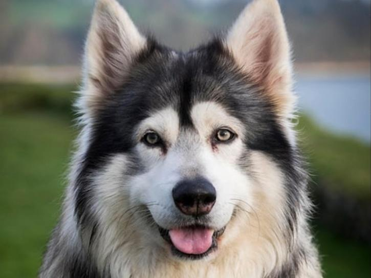 Game of Thrones Direwolf Dog Odin Dies At The Age Of 10, Loses Four-Month Long Battle To Cancer