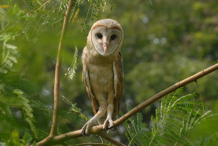 Diwali, Forest Officials, Protecting Owls, Occult Rituals, Owl Black Magic, Owl Sacrifice, Wildlife Protection Act