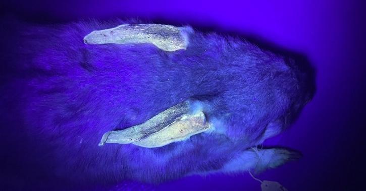 bilbies glow in the dark uv light