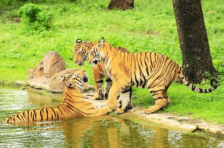 Pilibhit Tiger Reserve, Pilibhit Tiger Reserve Tigers, Pilibhit Tiger Reserve Award, TX2 Award, Tigers in UP, UP Tiger Reserve