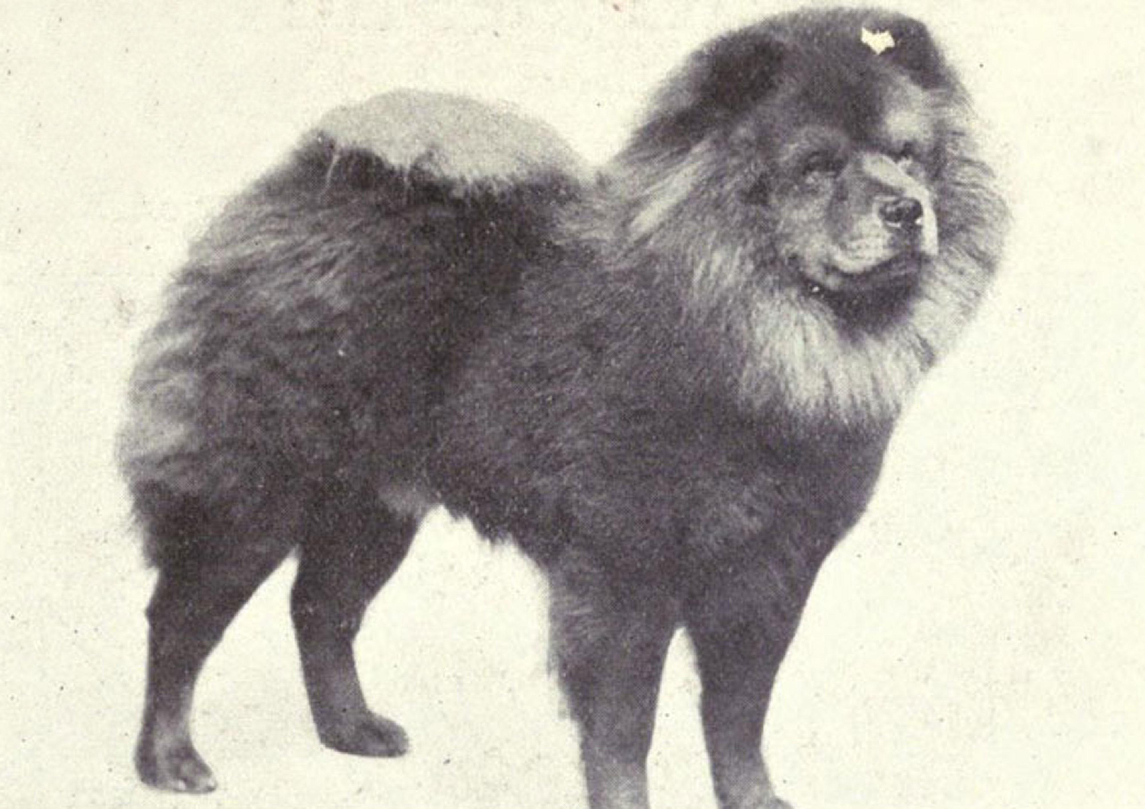 Chow Chow Then & Now