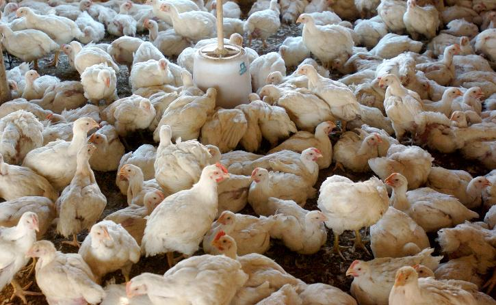 chickens H5N8 bird flu