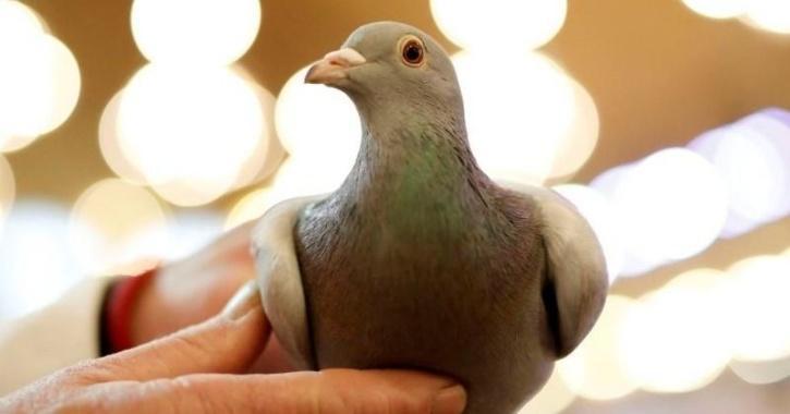 pigeon message