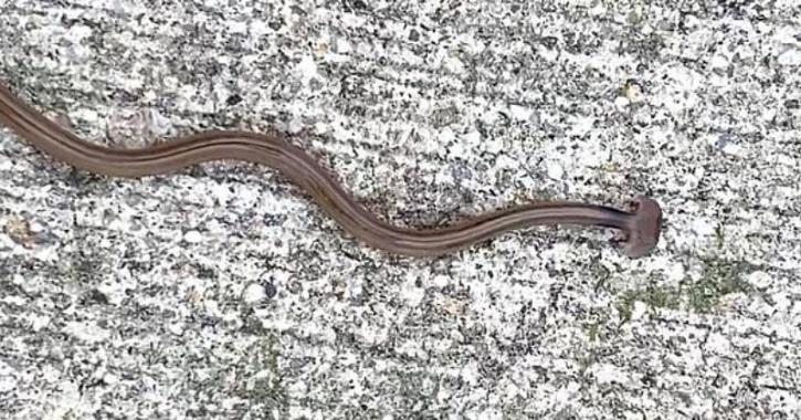 hammerhead flatworms