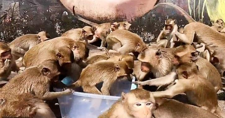The monkeys have been struggling for food due to the lack of tourists in the area