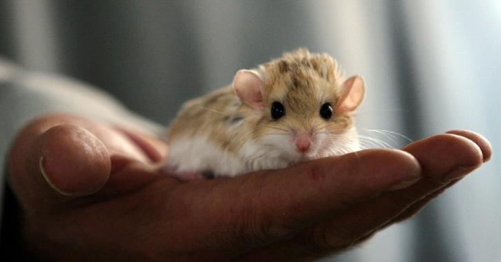 mice mental teleportation experiment
