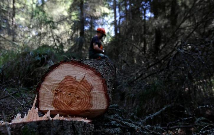 A 25-foot Algonquin Pillar Swiss Mountain pine was sawed down and stolen earlier in November.