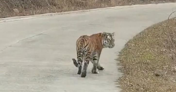 The government workers were frozen with fear after spotting the endangered big cat from their car while examining a local farm