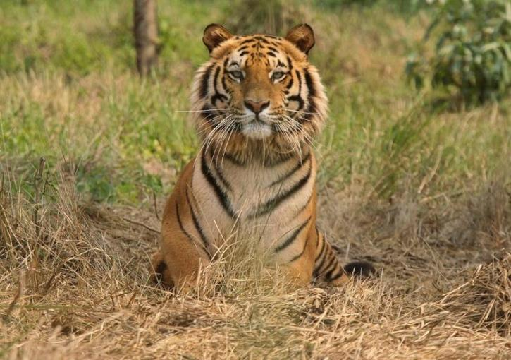 Royal Bengal Tiger injured at least two people in Tezpur after it had strayed out of its habitat on Tuesday.