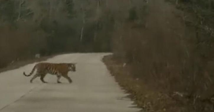 While walking in front of the car, the tiger occasionally stopped and turn around while gazing at the officials.