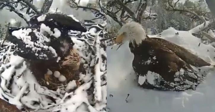 mother eagle protects eggs in snow storm