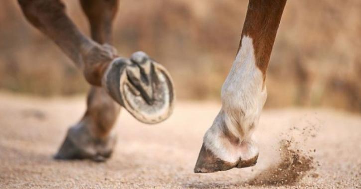 horse hoof fossils