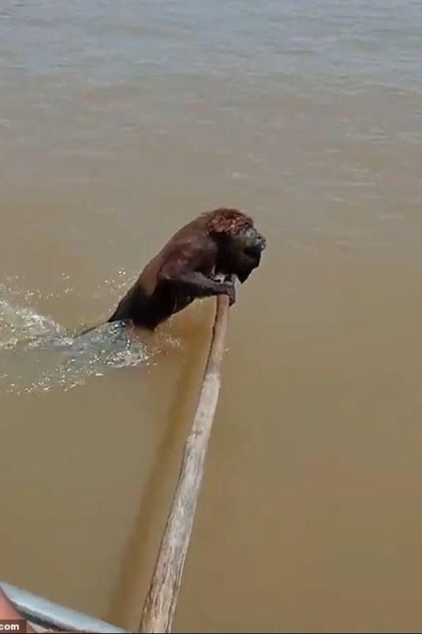 Monkey Saved from drowning in Brazil