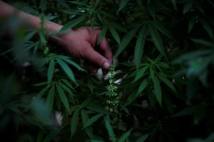 Cannabis Nursery, Cannabis Nursery Goa, Russians Cannabis Nursery, Russians Arrested In Goa, Goa Ganja, Goa Police
