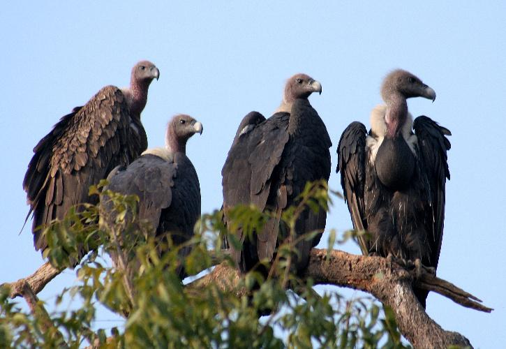 Indian Vultures