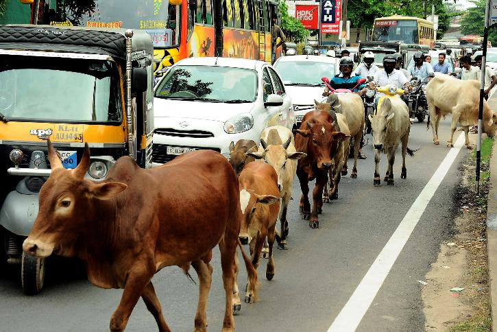 Stray cows
