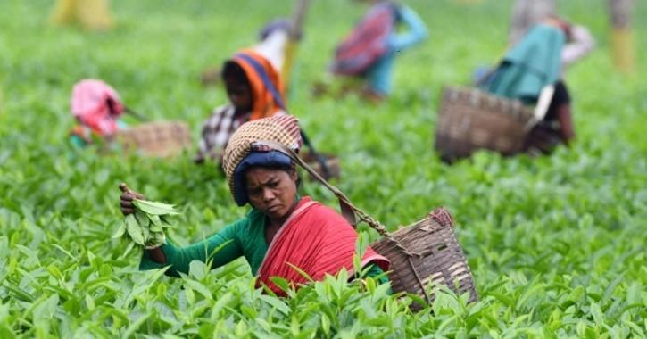 peciality Tea at a record price of ₹ 75,000 per kg, the highest this year, an official said.