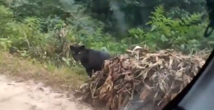 Parveen Kaswan of the Indian Forest Services tweeted a short clip that showed a Black Panther roaming around a mountain forest.
