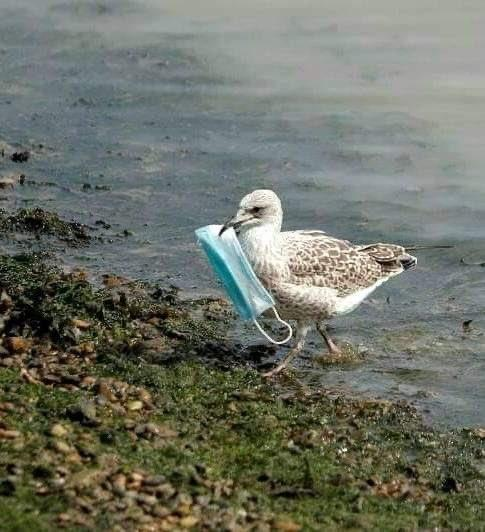 Seagull with face mask in beak