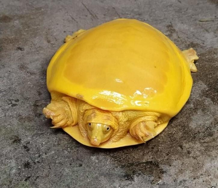 Yellow-Coloured Albino Turtle, Yellow Turtle, Albino Turtle, Indian Flapshell turtle, Indian Flapshell turtle Species