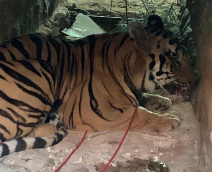 Maharashtra Tiger