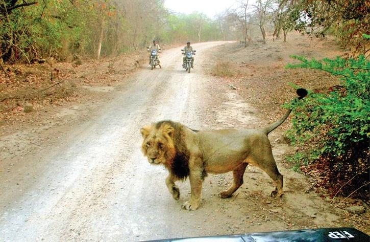 Gir forest lion blocks forest guard's path