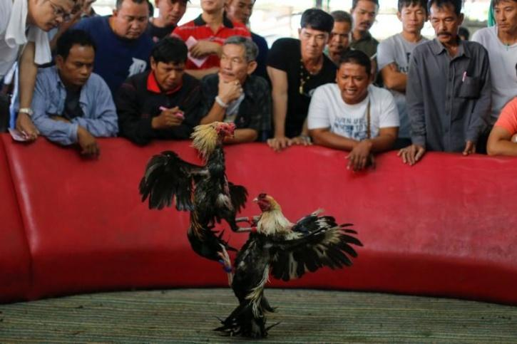 , since the global coronavirus pandemic, cockfighting and other cultural sports and events have been banned