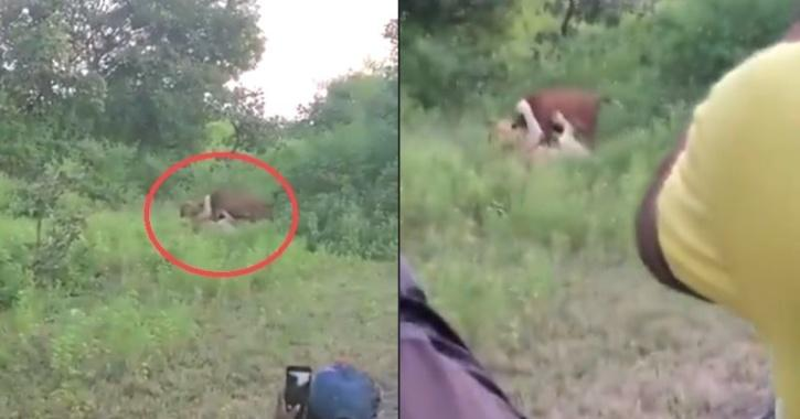 A video of an Asiatic lion from Gir forest has emerged where it can be seen hunting down a cow