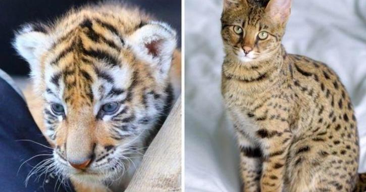 savannah tiger