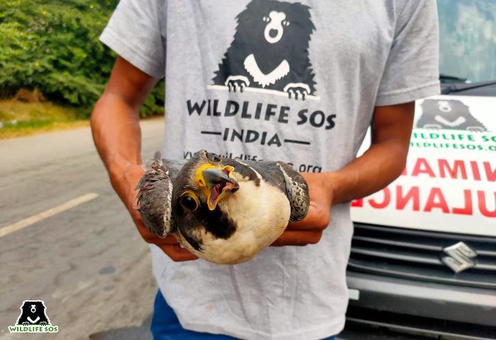 Falcon, Injured Falcon, Delhi Falcon, Injured Bird, Kite Flying, Kite Flying Birds