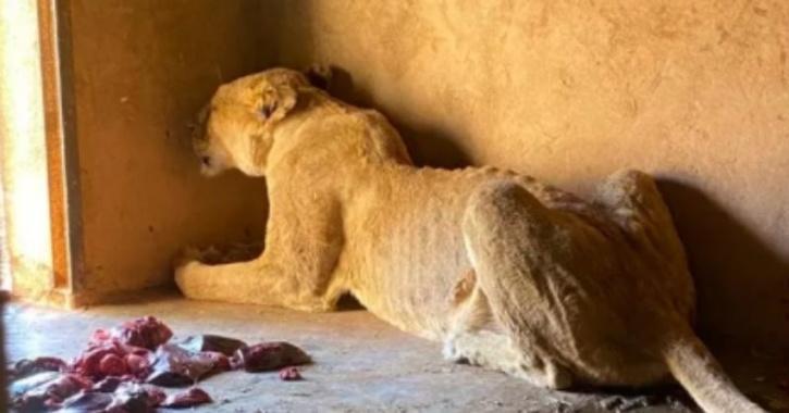 An emaciated lion is seen at the appalling zoo in Burkina Faso.