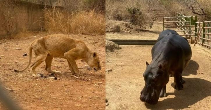 Sickening footage shows emaciated lions left to starve along with hippos