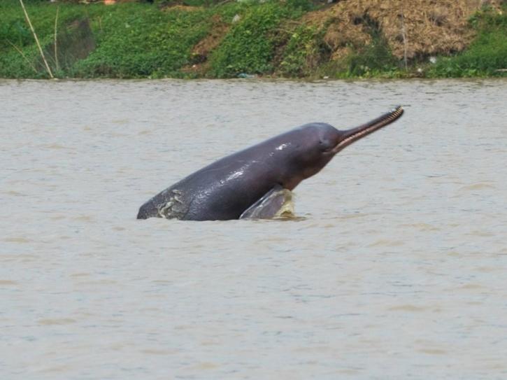 Gangetic dolphin Survey