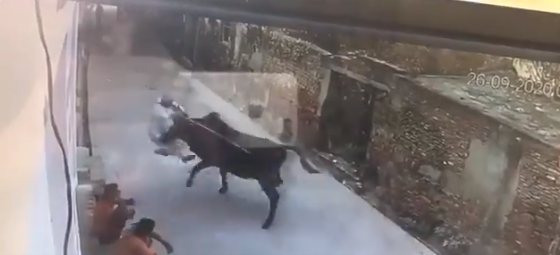 bull attacks old man after being provoked