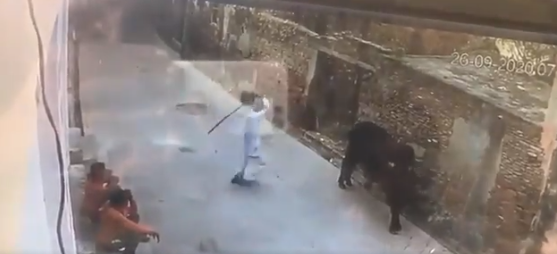 old man provokes bull by beating it