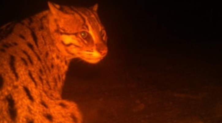 Chilika cat