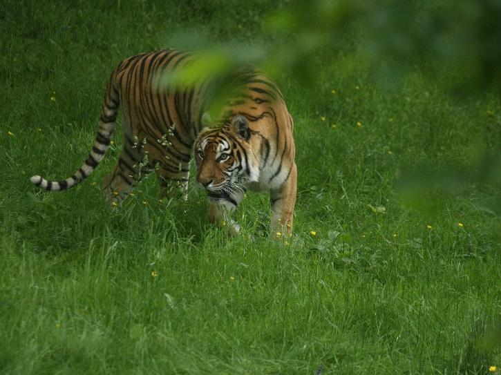 Tiger carcass found reserve in UP