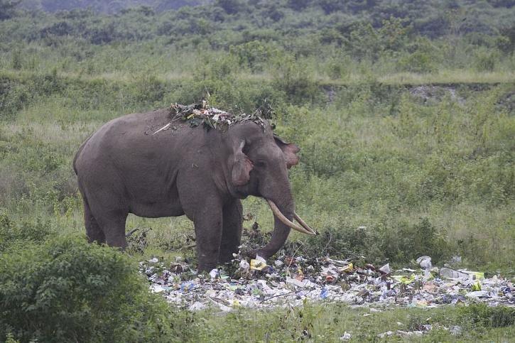 Elephant wade through rubbish