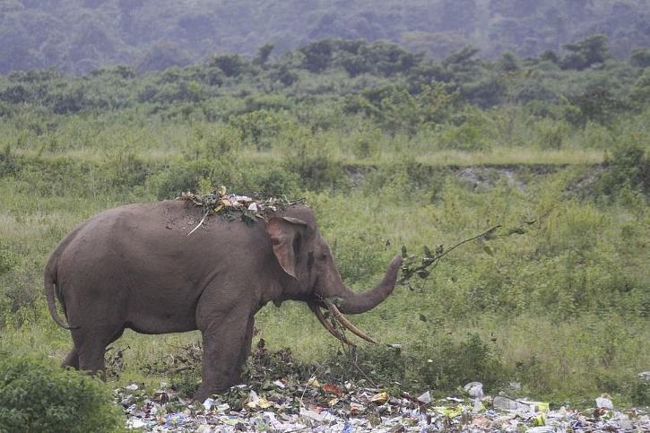 elephant looks for food