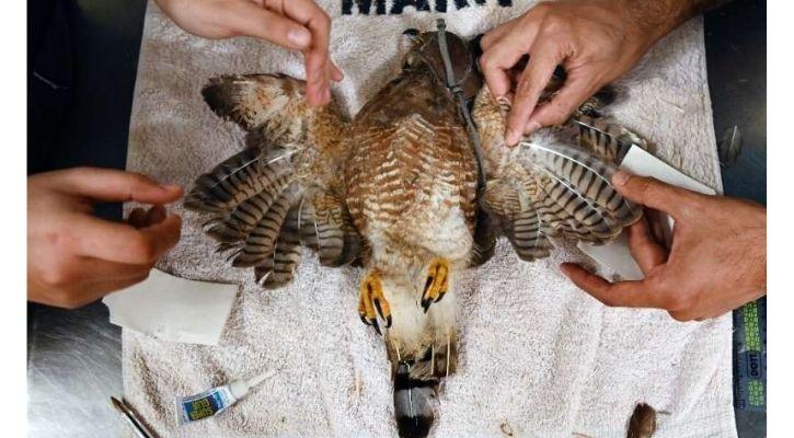 hawk salvador wings cut