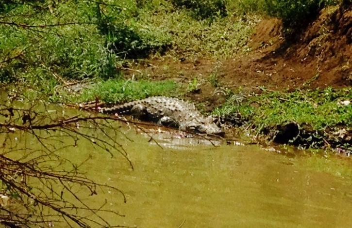 UP Village, UP Crocodile, UP Crocodile Rescue, Lakhimpur Kheri, Dudhwa Tiger Reserve,  Crocodile IUCN Red List