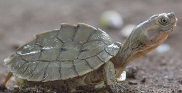 turtle species known for its cheeky 'smiling' expression is rescued from the brink of extinction by conservationists