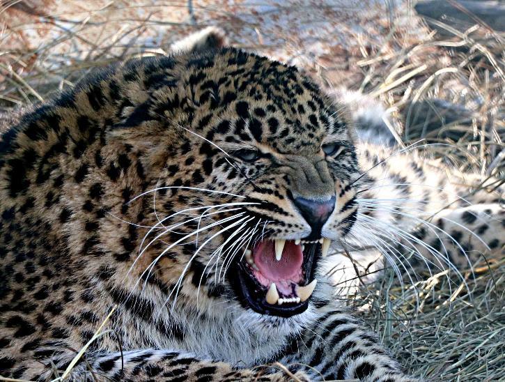 Pulimurugan, Pulimurugan Munnar, Munnar Leopard, Kerala Leopard Killed, Leopard Killed in Kerala