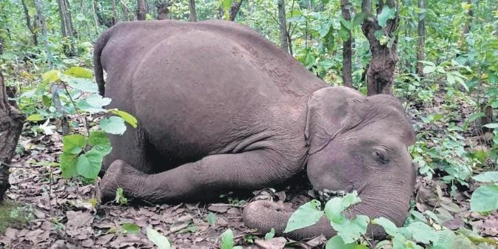 Elephant dies after stepping on live wire