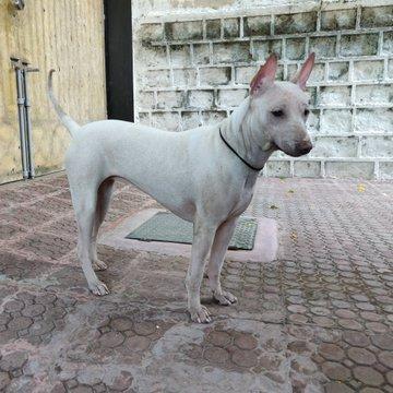 भारतीय कुत्ते की नस्ल जोनंगी