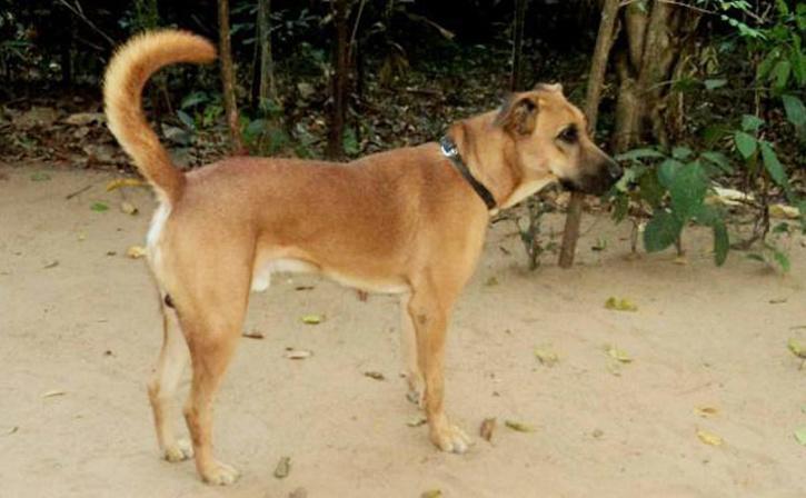 भारतीय कुत्ते की नस्ल कोम्बाई