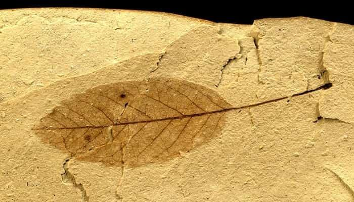 Geologists have discovered fossilized leaves,