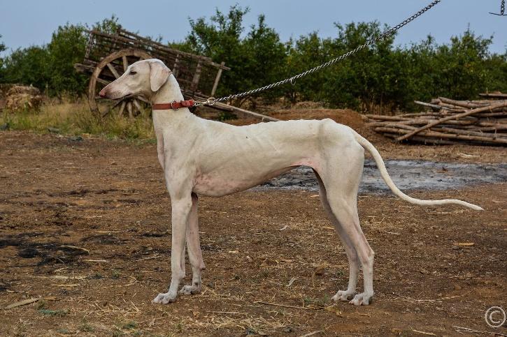 भारतीय कुत्ते की नस्ल मुधोल हाउंड
