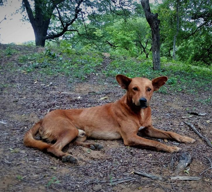 भारतीय कुत्ते की नस्ल परिआह