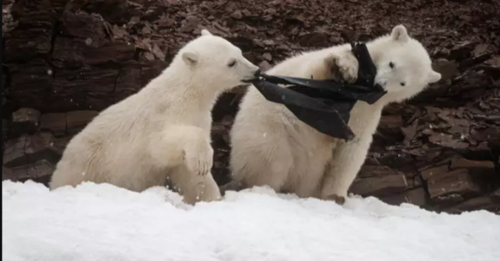 A pair of two-year-old sibling polar bear cubs were playing with a plastic bag